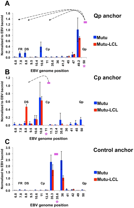 Quantitative 3C analysis confirms alternative loop formation between type I and type III latency types. 3C assay coupled with quantitative PCR was used to analyze chromatin architecture of the EBV genome in type I (Mutu) and type III (Mutu-LCL) latencies. EBV genome coordinates of all the Mse I fragments tested are indicated on the X-axis. A pink asterisk indicates fragment bearing the anchor primer. Loop formation between the anchor primer (pink box) and an Mse I fragment is indicated by dashed arrows. Data were analyzed using the ΔCt method, and Ct values generated by using 100 ng of EBV bacmid DNA Mse I digested and randomly ligated were used as the control. Data were obtained by three independent experiments and expressed as mean ± SE. Data generated by the anchor fragment self-ligation product were removed from analysis. (A) Quantitative 3C analysis using the anchor primer within the fragment containing Qp and several regions of the EBV genome. (B) Quantitative 3C analysis using the anchor primer within the fragment containing Cp and several regions of the EBV genome. (C) Quantitative 3C analysis using the anchor primer within the fragment chosen as control and several regions of the EBV genome.