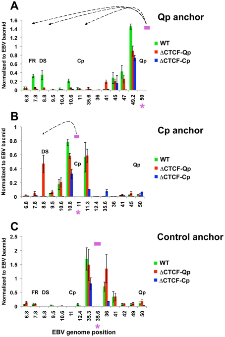 Quantitative 3C analysis confirms changes in chromatin architecture in ΔCTCF-Qp and ΔCTCF-Qp compared to Wt EBV bacmid. 3C assay coupled with quantitative PCR was used to analyze EBV chromatin architecture in 293-EBV Wt bacmid, 293-EBV ΔCTCF-Qp and 293-EBV ΔCTCF-Cp stable cell lines. EBV genome coordinates of all the MseI fragments tested are indicated on the X-axis. A pink asterisk indicates the fragment bearing the anchor primer. Loop formation between the anchor primer (pink box) and a MseI fragment is indicated by dashed arrows. PCR amplification was analyzed using the ΔCt method, and Ct values generated by using 50 ng of EBV bacmid DNA Mse I digested and randomly ligated were used as the control. Data were obtained by three independent experiments and expressed as mean ± SE. Data generated by the anchor fragment self-ligation product were removed from analysis. (A) Quantitative 3C analysis using the anchor primer within the fragment containing Qp and several regions of the EBV genome. (B) Quantitative 3C analysis using the anchor primer within the fragment containing Cp and several regions of EBV genome. (C) Quantitative 3C analysis using the anchor primer within the fragment chosen as control and several regions of the EBV genome.