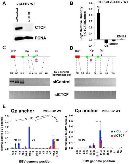 CTCF siRNA depletion disrupts chromatin architecture of EBV. (A) 293-EBV Wt cell lines were transfected with siRNA against CTCF (siCTCF) or a non-targeting control (siControl). After 72 hrs cells were harvested and then analyzed by western blot with antibody to CTCF (top panel) or loading control PCNA (lower panel) to check depletion efficiency. (B) RT-qPCR analysis of promoter utilization and EBNA1 and EBNA2 gene expression after CTCF depletion. Data are normalized to GFP mRNA and expressed as −ΔΔCt values. Each bar represents the mean ± SE of three independent experiments. (C and D) 3C assay was used to analyze chromatin conformation after depletion of CTCF. Representative gel images of 3C PCR analysis using the anchor primer within the fragment containing Qp promoter (C) or Cp promoter (D) and several regions of the EBV genome for 293-EBV Wt cell line transfected with siControl or siCTCF siRNA. Amplified regions are indicated above each gel. (E) 3C assay coupled with quantitative PCR was used to analyze EBV chromatin architecture in 293-EBV Wt bacmid transfected with siControl or siCTCF siRNA, using the anchor primer within the fragment containing Qp promoter (left panel) or Cp promoter (right panel) and several regions of EBV genome. EBV genome coordinates of all the Mse I fragments tested are indicated on the X-axis. A pink asterisk indicates fragment bearing the anchor primer. Loop formation between anchor primer (pink box) and a Mse I fragment is indicated by dashed arrows. PCR amplification was normalized by using 50 ng of EBV bacmid DNA Mse I digested and randomly ligated. Data were obtained by three independent experiments and expressed as mean ± SE. Data generated by the anchor fragment self-ligation product were removed from analysis.