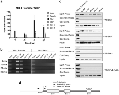The transcription factors Elk-1 and <t>SRF</t> bind to the <t>Mcl-1</t> promoter in MCF-7 cells. ( a ) Chromatin immunoprecipitation using antibodies specific to Elk-1 and SRF was performed as described in Material and methods section. Controls shown are two negative antibody controls as well as a no antibody control (protein G beads alone). Ctrl1 is an antibody against Stat-3 and Ctrl 2 is an antibody against NF-κB. Fold enrichment values were obtained by comparing the cT values for each ChIP sample to an equal amount of input DNA. Primers were designed in the last exon of the Mcl-1 gene to demonstrate specificity (RT–PCR data not shown, PCR products shown in ( b )). Data represents the mean of three independent experiments±standard error. ( b ) PCR products were run on an agarose gel following each ChIP experiment to assess reaction specificity. ( c ) Streptavidin pull-down assay to detect transcription factor binding to a 50 bp double-stranded biotin labelled probe specific to the Mcl-1 promoter region of interest. Cells were stimulated with EGF for different time periods and nuclear extracts incubated with the Mcl-1 probe. Following pull down with streptavidin beads, the bound proteins were detected by SDS/polyacrylamide gel electrophoresis and western blotting. To control for specificity, a biotin-labelled scrambled probe was used along with competition with an unlabelled specific probe. Blots were probed with antibodies to the transcription factors Stat-3 and NF-κB to demonstrate binding specificity. ( d ) Schematic representation of the Mcl-1 gene showing approximate locations of the biotin labelled probe used for the Streptavidin pull down as well as the primers used for ChIP.
