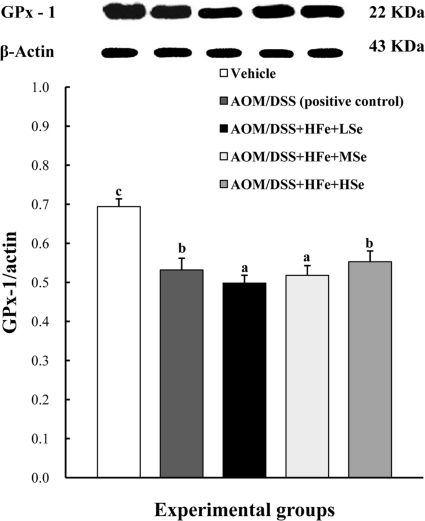 Effect of Se on hepatic GPx-1 by western blot in mice fed the high Fe diet with different Se levels. The expression of GPx-1 was up-regulated in the high-Se group compared with the low-Se group. AOM: azoxymethane, DSS: dextran sodium sulfate, HFe: high-Fe diet (450 ppm), LSe: low-Se diet (0.02 ppm), MSe: medium-Se diet (0.1 ppm), HSe: high-Se diet (0.5 ppm). Data were represented as mean±SE. abc Means not sharing common superscript letters are significantly different at P