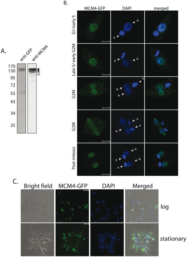 Analysis of MCM4-GFP expression in Leishmania promastigotes. A . Western blot analysis of extracts from 5×10 7 cell equivalents (8% SDS-PAGE), analyzed using anti-GFP (1∶1000 dilution; Invitrogen) or anti-MCM4 antibody (1∶1000 dilution). Filled arrowheads – MCM4-GFP; open arrowheads – endogenous MCM4. B . Immunofluorescence analysis. G1/early S phase cells – one nucleus, one short kinetoplast. Late S phase/early G2/M cells – one nucleus, one elongated kinetoplast. Late G2/M phase cells - two nuclei, one kinetoplast or one nucleus, two kinetoplasts. Post-mitosis – two nuclei, two kinetoplasts. Cells were analyzed by collecting Z stack images using a confocal microscope. Magnification bar represents 2 µm. N-nucleus; K- kinetoplast. C . Immunofluorescence analysis of MCM4-GFP expression in logarithmically growing and stationary phase promastigotes. Magnification bar represents 5 µm.