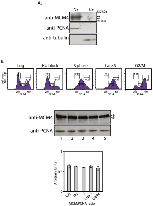 Analysis of endogenous MCM4 expression in Leishmania promastigotes. A . Western blot analysis of extracts from proliferating promastigotes. Extracts (10% SDS-PAGE) probed with anti-MCM4 antibody (1∶1000 dilution), anti-PCNA antibody (1∶5000 dilution; loading control for nuclear extracts), anti-tubulin antibody (1∶2000 dilution; loading control for cytosolic extracts). CE- cytosolic extract; NE- nuclear extract. B . MCM4 expression at different stages of the cell cycle. Upper panel – Flow cytometry profiles of cells harvested at different timepoints. Lower panel - Western blot analysis of nuclear extracts (4×10 7 cell equivalents) using anti-MCM4 antibody (1∶1000 dilution) and anti-PCNA antibody (1∶5000 dilution; loading control). 1- log; 2- HU block; 3- S phase; 4- late S phase; 5- G2/M phase. Bar chart represents expression of MCM4 relative to PCNA. Arrowheads indicate MCM4.