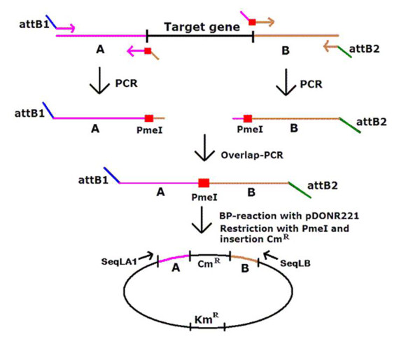 Schematic representation of the construction of specific deletion mutants in E. coli UTI89 . In the first step, homology regions A and B, flanking the deletion, were amplified by PCR. Primers were designed in such a way that fragments were generated with an attB -site on one side and with a restriction enzyme site and an overlap region of 25-30 bp on the other side. Overlap-PCR was subsequently carried out with the attB -containing primers, to join regions A and B. The resulting PCR fragment was used in a BP-reaction with the <t>pDONR221</t> plasmid. This gave rise to a plasmid containing the overlap-PCR fragment. After PmeI restriction of the plasmid, the chloramphenicol resistance marker cat was inserted. A final PCR-fragment was obtained using primers SeqLA1 and SeqLB, which are located on pDONR221. This fragment was electroporated in arabinose-induced E. coli strains harbouring the helper plasmid pKD46 expressing the Red recombinase.
