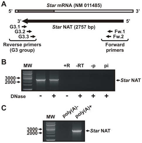 Star NAT expression in MA-10 cells. Total RNA was extracted from MA-10 cells and treated with DNase or RNase prior to sequence-specific reverse transcription, followed by PCR/nested PCR and sequencing. A . Schematic diagram showing the RT primer (G3.1), PCR primers (Fw.1 and G3.2), and nested PCR primers (Fw.2 and G3.3) used in these experiments. A schematic representation of the full Star NAT sequence obtained after sequencing the PCR products is shown. B . Representative image of the RT-nested PCR product, the identity of which was confirmed by sequencing. +R, RNase-treated RNA control; -RT, no reverse transcriptase RT-PCR control; -p, RT reaction in the absence of primer; pi, RT reaction in the presence of a non-specific primer; MW, DNA molecular weight ladder. Arrows indicate apparent sizes in bp. C . Poly (A) + RNA was purified from total MA-10 cells RNA using oligo(dT) cellulose chromatography. After DNase I treatment, specific RT, PCR and nested PCR were conducted as indicated above. A representative image of the PCR product is shown.