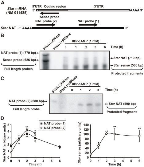 Analysis of hormone-regulated Star NAT expression by <t>RNase</t> protection assay (RPA). A . MA-10 cells were incubated with 8Br-cAMP (1 mM) for the indicated times. Total RNA was extracted and then treated with <t>DNase</t> I. Single-chain Star sense and Star NAT RNA probes were synthesized by in vitro transcription and labeled with [ 32 P] UTP. A schematic diagram illustrates the riboprobes used and their complementarity to the corresponding transcript. B . RPA was performed using simultaneously two probes: the sense- Star RNA probe (Sense probe) that was complementary to 566 bp of the coding region of sense transcripts, and the NAT- Star RNA probe (NAT probe 1) that was complementary to 719 bp of Star NAT. A representative autoradiograph is shown. The negative control (tRNA (+) RNase) consisted of yeast tRNA instead of MA-10 RNA. The tRNA (−) RNase control consisted of yeast tRNA without RNase treatment and was used to visualize the full-length probes. C . RPA was performed using another Star NAT probe (NAT probe 2) that was synthesized to be complementary to 590 bp of Star NAT sequence in a region different from the probe used in (B). A representative autoradiograph is shown. D . Graphs show the quantification (OD) of Star sense and NAT expression levels for each time point expressed in arbitrary units. Data are presented as an average ± SD of three independent experiments. * P