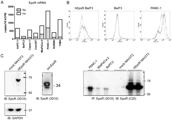 Expression of EpoR in PDAC cells. (A) qRT-PCR analysis revealed constitutive EpoR mRNA expression in all studied cancer cell lines and its strong up-regulation under hypoxic conditions. Nx = normoxia, Hx = hypoxia. (B) EpoR was detectable on the surface of hEpoR-transduced Ba/F3 cells and PANC-1 cells by flow cytometry analysis using an FITC-labeled antibody. Mouse IgG2b was used as a negative control. (C) Left panel: detection of the full-length EpoR protein in cell lysates of hEpoR-transduced NIH/3T3 cells and the recombinant sol-EpoR protein using the 3D10-antibody by Western blot analysis (with GAPDH as loading control). Right panel: detection of EpoR in pancreatic tumor cells and hEpoR-NIH/3T3 by immunoprecipitation with the 3D10-antibody followed by immunoblotting with the C-20 antibody.