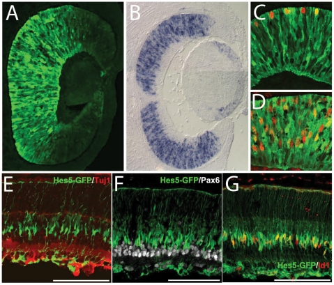 Hes5-GFP expression in developing retina. (A) Hes5-GFP in the E12.5 mouse retina. (B) in situ hybridization for Hes5 mRNA at E13.5. (C,D) Hes5-GFP expressing cells in the E12.5 day retina co-express progenitor markers, PH3 (C) and <t>BrdU</t> (D). (E–G) Hes5-GFP expression at postnatal day 7 is confined to the inner nuclear layer in the maturing Müller glia (Id1+; G)), and is not expressed in the Pax6+ or <t>TuJ1+</t> inner retinal neurons (E and F, respectively).