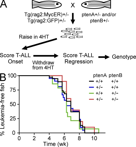 pten haploinsufficiency does not accelerate onset of MYC-induced T-ALL. (A) Experimental design to test the effect of pten haploinsufficiency on T-ALL onset upon MYC-ER activation and on tumor regression after 4HT removal. (B) Analysis of T-ALL onset in zebrafish from the experiment described in A. Number of fish analyzed per genotype: ptenA +/+, ptenB +/+, n = 39; ptenA +/−, ptenB +/+, n = 22; ptenA +/+, ptenB +/−, n = 12; ptenA +/−, ptenB +/−, n = 10.