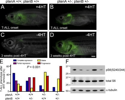 pten haploinsufficiency promotes loss of MYC transgene dependence. (A and C) One representative rag2:MYC-ER; rag2:GFP double-transgenic pten –wild-type zebrafish, shown at time of T-ALL onset (A) and 3 wk after removal from 4HT (C). (B and D) Representative rag2:MYC-ER; rag2:GFP double-transgenic zebrafish that harbored heterozygous mutations of both ptenA and ptenB , shown at time of T-ALL onset (B) and 3 wk after removal from 4HT (D). Bar, 1 mm. (E) Quantitation of T-ALL phenotypes after 4HT removal, based on pten genotype. Number of fish with T-ALL analyzed per genotype: ptenA +/+, ptenB +/+, n = 39; ptenA +/+, ptenB +/−, n = 12; ptenA +/−, ptenB +/+, n = 22; ptenA +/−, pten B +/−, n = 10. (F) Western blot analysis for phosphorylation of S6 ribosomal protein, a marker of Akt pathway activation, in sorted T-ALL cells from five different rag2:MYC-ER pten–wild-type zebrafish in which T-ALL progressed despite MYC down-regulation. Units for the molecular mass markers shown are in kD.