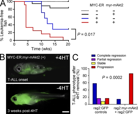 Constitutive Akt activation accelerates MYC-induced T-ALL and promotes loss of MYC transgene dependence. Germline rag2:MYC-ER heterozygous transgenic zebrafish were mated to wild-type fish, and all resultant offspring were injected at the one-cell stage with both rag2:GFP and rag2:myr-mAkt2 (15 pg of each DNA construct) or with rag2:GFP alone (30 pg). (A) Kaplan-Meier analysis of leukemia-free survival based on genotype. Number of GFP-fluorescent fish analyzed per genotype: rag2:MYC-ER negative, rag2:myr-mAkt2 negative, n = 10; rag2:MYC-ER negative, rag2:myr-mAkt2 positive; n = 18. rag2:MYC-ER positive, rag2:myr-mAkt2 negative, n = 12; rag2:MYC-ER positive, rag2:myr-mAkt2 positive, n = 21. (B) Representative rag2:MYC-ER germline transgenic zebrafish injected with rag2:myr-mAkt2 and rag2:GFP , shown at the time of T-ALL onset and 3 wk after removal from 4HT. Bar, 1 mm. (C) Quantitation of T-ALL phenotypes in rag2:MYC-ER –positive fish after 4HT removal, based on Akt genotype. Number of fish examined per group: rag2:myr-mAkt2, n = 21; rag2:GFP controls, n = 12.