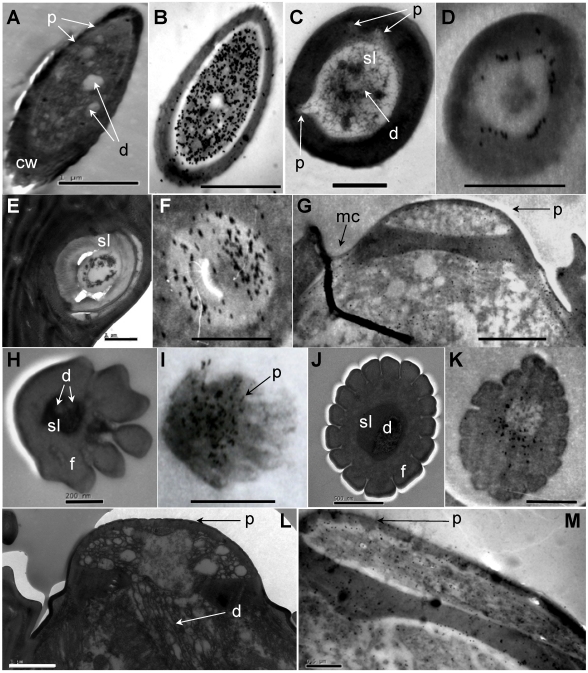 Immunolocalization of chemosensitive sensilla on S. guani antennae . (A) Transverse cross-section of LSB. (B) LSB shows strong labeling with anti-OBP1. (C) Transverse cross-section of ST-I. (D) ST-I are moderately labeled with anti-OBP-1, but gold granules are restricted to the sub-cuticular space around the sensillum lymph (sl). (E) The cross-section of the basal portion of the ST-II. (F) anti-OBP1 is widely distributed throughout the sensillum lymph (sf) of ST-II. (G) SP are moderately labeled by anti-OBP1, and gold granules are restricted at wall pores (p) and molting channels (mc). (H) Transverse cross-section of DWPS-II. (I) DWPS-II are specifically labeled with anti-OBP2. The gold granules are concentrated at the sensillum lymph (ls) as well as the wall-pores. (J) Transverse cross-section of DWPS-I. (K) DWPS-I are heavily labeled with anti-CSP1. The gold granules are exclusively located at the outer sensillum lymph (osl) cavity without dendrites, but not in the inner sensillum lymph (isl) cavity. (L) Longitudinal cross-section of SP. (M) SP are labeled with anti-CSP-1in sensillum lymph (sl) and wall pores (p). Scale bars: A=1µm, B=1µm, C=1 µm, D=500nm, E=1 µm, F=1 µm, G=1.4 µm, H=200nm, I=833nm, J=500nm, K=500nm, L=1µm, M=0.5µm.