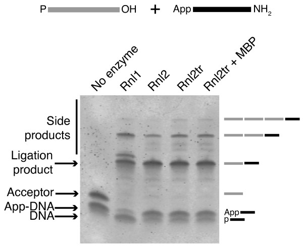 Production of ligation side products by T4 RNA ligases . Intermolecular ligation reactions containing 5'-adenylated DNA adapters, 21-mer 5'-PO 4  RNA acceptors and ligase (1 pmol) were incubated at 16°C overnight with 12.5% PEG 8000. Products of the reactions were resolved on denaturing 15% acrylamide gels and stained with SYBR Gold. The bands corresponding to the input nucleic acids, the DNA adapter/RNA acceptor ligation product (39 bases), and larger side products are indicated. Rnl1 = T4 RNA ligase 1, Rnl2 = T4 RNA ligase 2, Rnl2tr = T4 RNA ligase 2 truncated, Rnl2tr + MBP = T4 RNA ligase 2 truncated attached to an N-terminal maltose binding protein tag. Oligonucleotide substrates are depicted schematically above the gel. Grey lines represent RNA and black lines represent DNA.