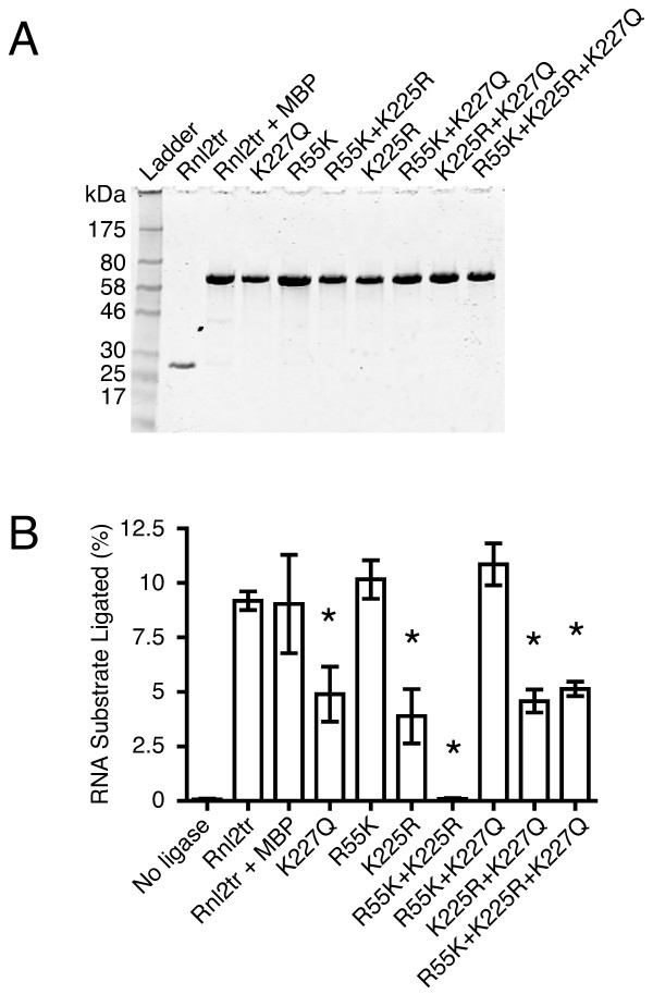 Purification and activity of T4 RNA Ligase 2 truncated mutants .  (A)  Aliquots of T4 RNA ligase 2 truncated and mutants were separated on 10-20% Tris-glycine SDS polyacrylamide gels and stained with Coomassie blue. The size (in kDa) of marker polypeptides are indicated on the left.  (B)  Intermolecular strand-joining activity of T4 RNA ligase 2 truncated mutants under multiple turnover conditions. 10 pmol 5'-adenylated 17-mer DNA was incubated for one hour at 25°C with 5 pmol 5'- FAM-labeled 31-mer RNA. 1 pmol of each ligase was added into reaction mixture. The reaction products were resolved on denaturing 15% acrylamide gels, scanned and quantified as described in the methods section. Rnl2tr = T4 RNA ligase 2 truncated, Rnl2tr + MBP = T4 RNA ligase 2 truncated attached to an N-terminal maltose binding protein tag. All mutations indicated are substitutions in T4 Rnl2tr + MBP. Data are shown as the mean +/- SEM of at least three independent experiments. * denotes difference in means p