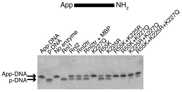Deadenylation activity of T4 RNA ligase 2 truncated mutants . 5'-adenylated DNA adapters were incubated with an excess of ligase (13.8 pmol), and 12.5% PEG 8000 at 16°C overnight. Oligonucleotide substrates are depicted schematically above the gel. The contents of each sample were resolved on denaturing 15% acrylamide gels and stained with SYBR Gold to visualize nucleic acid. Deadenylation of the DNA adapter (loss of 5'-App) is indicated by a band shift of ~1 nt towards the bottom of the gel. Rnl1 = T4 RNA ligase 1, Rnl2 = T4 RNA ligase 2, Rnl2tr = T4 RNA ligase 2 truncated, Rnl2 +MBP = T4 RNA ligase 2 truncated attached to an N-terminal maltose binding protein tag. All mutations indicated are substitutions in T4 Rnl2tr + MBP.