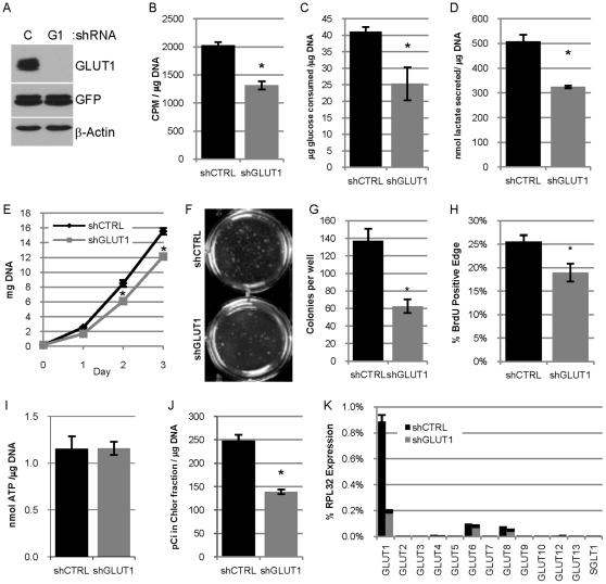 Reduced expression of GLUT1 in 78617GL cells decreases glucose usage, lipid synthesis and proliferation in vitro. A. Immunoblot analysis evaluating the expression of GLUT1, GFP-Luciferase transgene (GFP) and β-actin in lysates from 78617GL cells expressing control shRNA (C) or GLUT1 shRNA (G1). B. Uptake of 3 H-2-deoxyglucose by 78617GL cells expressing control shRNA (shCTRL) or GLUT1 shRNA (shGLUT1) in 15 minutes presented as CPM per µg DNA. C–D. Glucose consumption ( C ) and lactate secretion ( D ). Glucose and lactate concentrations are normalized to the DNA content of the cultures. E. Proliferation is estimated by deteriming the DNA content of cultures at days 0, 1, 2 and 3 post-seeding. F–G. 78617GL cells were grown in soft agar for 3 weeks and colonies are pictured in F and the number of colonies per well is quantified in G . H. Quantification of BrdU positive cells in the outer edge of 12 colonies of each group. I. The concentration of ATP in the two groups of cells (lacking luciferase expression) was determined and normalized to the DNA content of parallel monolayers. J. Lipid synthesis was measured by determining the amount of 14 C in the non-aqueous chloroform fraction of methanol chloroform extracted cell lysates after 24 hour incubation with 14 C-glucose and is normalized to the DNA content of parallel samples. K. qPCR analysis evaluating the expression of the 12 mouse GLUT transporters and SGLT1 in 78617GL cells expressing control shRNA or GLUT1 shRNA normalized to RPL32 expression.