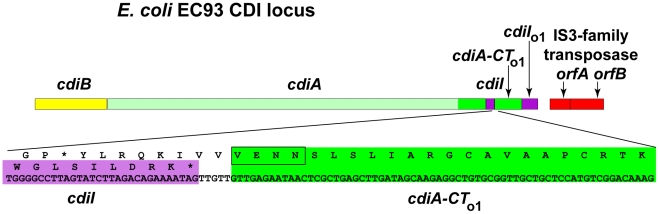 E. coli EC93 contains an orphan cdiA-CT/cdiI module. The CDI region of E. coli EC93 is depicted, with cdiB , cdiA and cdiI genes shown in yellow, green and purple, respectively. The cdiA coding region upstream of the encoded VENN motif is shown in light green, and the cdiA-CT sequence is shown in dark green. The orphan cdiA-CT fragment ( cdiA-CT o1 ) and orphan cdiI ( cdiI o1 ) are dark green and purple, respectively. The nucleotide sequence of the cdiI - cdiA-CT o1 junction and the predicted reading frames are shown in detail. Sequences similar to transposable element genes are shown in red.