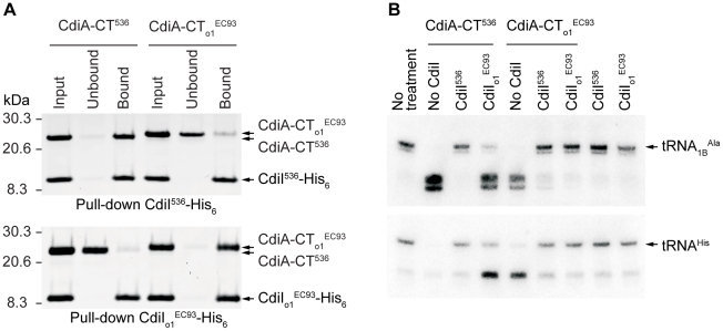 The tRNase activity of CdiA-CT o1 EC93 is blocked by the binding of CdiI o1 EC93 . A) Analysis of CdiA-CT/CdiI binding. Purified CdiA-CT and CdiI-His 6 proteins were mixed at equimolar ratios then purified by Ni 2+ -affinity chromatography. Input samples represent the protein mixtures prior to chromatography. Unbound fractions contain proteins that failed to bind the affinity resin. Bound proteins were eluted from the affinity resin with imidazole. All fractions were analyzed by SDS-PAGE. B) Northern blot analysis of CdiA-CT UPEC536 and CdiA-CT o1 EC93 tRNase activity. S100 fractions containing cellular tRNA was treated with purified CdiA-CT and/or CdiI-His 6 proteins and then analyzed by Northern blot hybridization using probes specific for tRNA 1B Ala and tRNA His .