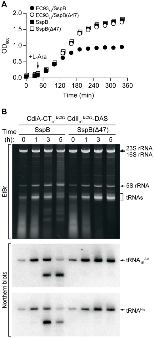 CdiA-CT o1 EC93 inhibits the growth of E. coli cells. A) Growth curves of E. coli Δ sspB cells expressing CdiA-CT o1 EC93 /CdiI o1 EC93 -DAS. Degradation of CdiI o1 EC93 -DAS was initiated by the addition of L-arabinose to induce SspB synthesis. Control cells express SspB(Δ47), which does not deliver CdiI o1 EC93 -DAS to the ClpXP protease. Growth curves with square symbols represent control strains expressing SspB or SspB(Δ47), but not CdiA-CT o1 EC93 /CdiI o1 EC93 -DAS. B) Analysis of in vivo CdiA-CT o1 EC93 tRNase activity. Total RNA was isolated from cells expressing CdiA-CT o1 EC93 /CdiI o1 EC93 -DAS at varying times after L-arabinose induction. Samples were run on polyacrylamide gels followed by staining with ethidium bromide (EtBr) or Northern blot analysis using probes specific for tRNA 1B Ala and tRNA His .