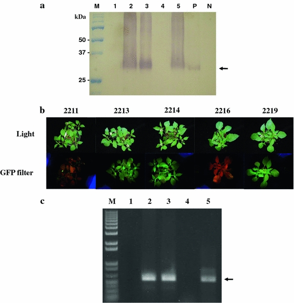 Western blot analysis and RT-PCR products from GFP-expressing transgenic and non-transgenic peppers. a M pre-stained marker, lane 1 2211 (non-GM), lane 2 2213 (GM), lane 3 2214 (GM), lane 4 2216 (non-GM), lane 5 2219 (GM), P positive control (GFP purified), N negative (coat protein). Arrow indicates a protein band of about 30 kDa. b GFP expression in T 1 whole peppers versus non-transgenic peppers. c RT-PCR of GFP gene from transgenic pepper plants. Arrow indicates the amplified DNA band of GFP gene (573 bp). Lanes 1 and 4 non-GM, lanes 2, 3, 5 GM