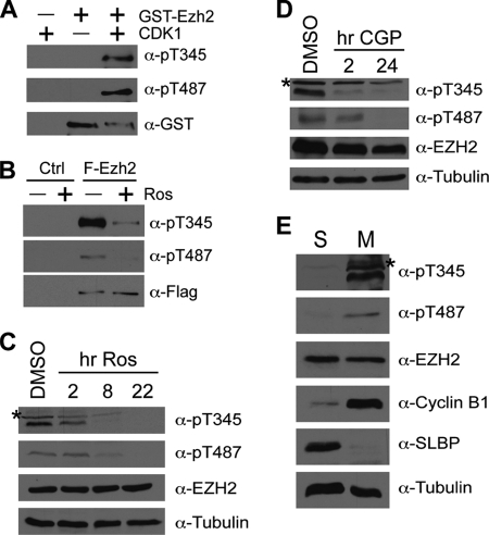 CDK1 mediates Ezh2 phosphorylation at Thr-345 and Thr-487. A , CDK1 phosphorylates Ezh2 at Thr-345 and Thr-487 ( pT487 ) in vitro . Recombinant GST-tagged Ezh2 was subjected to a cold kinase assay using CDK1-cyclin B kinase followed by Western blot analysis using phospho-Ezh2 antibodies specific for Thr(P)-345 (α -pT345 ) and Thr(P)-487 (α -pT487 ), respectively. B , phosphorylation of Ezh2 by CDKs can be inhibited by roscovitine ( Ros ). HEK293T cells were transfected with empty vector ( Ctrl ) or FLAG-tagged Ezh2 ( F-Ezh2 ). 24 h after transfection, cells were treated with 50 μ m roscovitine for 24 h to inhibit CDKs. Following FLAG immunoprecipitation, bound proteins were subjected to Western blot analysis using the indicated antibodies. C , inhibition of CDKs results in loss of endogenous phospho-Ezh2. HeLa cells were treated with 50 μ m roscovitine for the indicated times ( hr Ros ). Lysates were analyzed by Western blot analysis using the indicated antibodies. DMSO , dimethyl sulfoxide. D , specific inhibition of CDK1 results in loss of endogenous phospho-Ezh2. HeLa cells were treated with 2 μ m CGP74514A ( CGP ) to specifically inhibit CDK1. Lysates were analyzed by Western blot analysis using the indicated antibodies. E , phospho-Ezh2 is enriched in cells arrested at mitosis. HeLa cells were arrested at S-phase ( S ) and M-phase ( M ) by double thymidine block and thymidine-nocodazole block, respectively. Extracts were analyzed by Western blot using the indicated antibodies. SLBP, S-phase control; cyclin B1, M-phase control; tubulin, loading control.