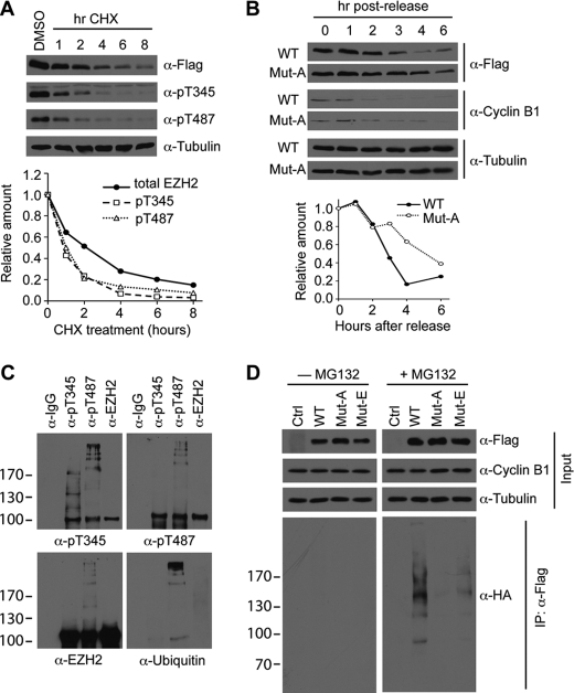 Phosphorylated Ezh2 is ubiquitinated and degraded via the proteasome pathway. A , phospho-Ezh2 exhibits a shorter half-life when compared with total Ezh2. Asynchronous HEK293T cells were transfected with FLAG-tagged Ezh2 and treated with 100 μg/ml cycloheximide ( CHX ) for the indicated times. Western blot analysis was performed using the indicated antibodies ( top panel ). Western blot signals were quantified using ImageJ ( bottom panel ). α -pT345 , Thr(P)-345 antibody; α -pT487 , Thr(P)-487 antibody. B , mutant Ezh2 degrades more slowly after mitosis. HeLa cells stably expressing FLAG-tagged wild-type Ezh2 ( WT ) or T345A/T487A ( Mut-A ) were synchronized at mitosis by thymidine-nocodazole block and then released into the cell cycle for the times indicated. Protein levels of Ezh2 were detected by FLAG Western blot ( top panel ). Cyclin B1 is a marker for mitosis, and tubulin was used as a loading control. Western blot signals were quantified using ImageJ ( bottom panel ). C , phospho-Ezh2 is ubiquitinated. Phospho-Ezh2 was immunoprecipitated from HeLa extracts using antibodies against Thr(P)-345 and Thr(P)-487. Total Ezh2 was immunoprecipitated using Ezh2 antibodies. Western blot analysis of bound proteins was performed using the antibodies indicated. D , ubiquitination status of Ezh2 in mitotic cells. HeLa cells stably expressing empty vector ( Ctrl ), FLAG-tagged wild-type Ezh2 ( WT ), T345A/T487A ( Mut-A ), and T345E/T487E ( Mut-E ) were generated by lentiviral infection and transfected with HA-tagged ubiquitin. Cells were synchronized and arrested at mitosis by thymidine-nocodazole block. 4 h prior to harvesting, cells were treated with or without 25 μ m MG132. Lysates were prepared under denaturing conditions and subjected to immunoprecipitation ( IP ) using FLAG antibodies. Bound proteins were analyzed by Western blot using the indicated antibodies.