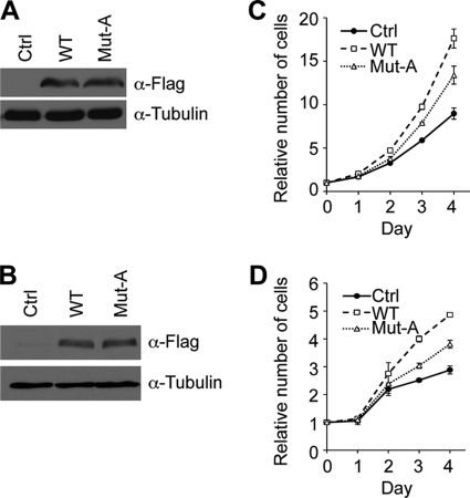 Thr-345 and Thr-487 of Ezh2 are important for cell proliferation. Western blot analysis demonstrates that wild type and T345A/T487A mutant are expressed at similar levels. A and B , PC3 ( A ) and HeLa ( B ) cells were infected with lentiviruses overexpressing empty vector ( Ctrl ), wild-type Ezh2 ( WT ), or T345A/T487A ( Mut-A ). Exogenous Ezh2 was detected using FLAG antibodies, whereas tubulin served as a loading control. C and D , PC3 ( C ) and HeLa ( D ) cells expressing T345A/T487A proliferate more slowly when compared with wild type. Approximately 5000 cells were seeded in triplicate in a 96-well plate, and cell proliferation was monitored by absorbance using the MTS assay at the indicated times. The measured absorbance was converted to the number of cells using a standard curve. For each cell line, the number of cells at day 0 was set to 1. Error bars in panels C and D indicate S.D.