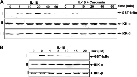 A, effects of curcumin treatment on IL-1β-induced IκB kinase activation. Serum-starved primary human tenocytes were either stimulated with 10 ng/ml of IL-1β for the indicated times or pre-treated with 5 μ m curcumin for 4 h and then co-treated with IL-1β (10 ng/ml) for the indicated times. Whole cell extracts were immunoprecipitated with an antibody against IκB kinase (IKK)-α and analyzed by an immune complex kinase assay. To examine the effect of curcumin on the expression level of IKK proteins, whole cell extracts (500 ng of protein/lane) were fractionated by SDS-PAGE and examined using Western blot analysis with anti-IKK-α and anti-IKK-β antibodies. Data shown are representative of three independent experiments. B, direct effect of curcumin treatment on IL-1β-induced IκB kinase activation. Serum-starved human tenocytes (1 × 10 6 cells/ml) were treated with 10 ng/ml of IL-1β. Whole cell extracts were prepared and immunoprecipitated with anti-IKK-α antibody. The immunocomplex kinase assay was performed in the absence or presence of curcumin at the indicated concentrations. Data shown are representative of three independent experiments.