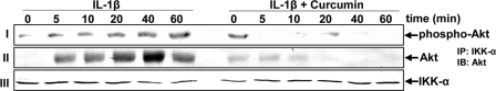 Effect of curcumin on IL-1β-induced Akt phosphorylation. Serum-starved human tenocytes (1 × 10 6 cells/ml) were either stimulated with 10 ng/ml of IL-1β for the indicated times or pre-treated with 5 μ m curcumin for 4 h and exposed to 10 ng/ml of IL-1β for the indicated times. Whole cell extracts were analyzed by Western blot analysis using anti-phospho-specific Akt ( row I ). Cell extracts were immunoprecipitated ( IP ) with anti-IKK-α antibody and the immunoprecipitates were separated (500 ng of protein/lane) by SDS-PAGE and analyzed by immunoblotting ( IB ) using anti-Akt antibody ( row II ) or with anti-IKK-α antibody ( row III , as a loading control). Results shown are representative of three independent experiments.