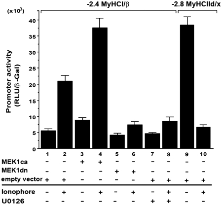MEK1–ERK1/2 signaling increases Ca 2+ -ionophore-induced slow MyHCI/β promoter activation in C2C12 myotubes. C2C12 cells were transiently transfected with a −2.4-kb MyHCI/β or with a −2.8-kb MyHCIId/x promoter luciferase reporter construct alone or cotransfected with expression vectors for constitutively active MEK1 (MKK1ca), or dominant negative MEK1 (MEK1dn), or empty vector. Cells were grown for 24 h in GM and then for 2 days in DM with or without Ca 2+ -ionophore A23187 (0.1 µM) and/or U0126 (10 µM). The promoter activity is expressed as relative light units per unit β-galactosidase (RLU/β-Gal). The data represent the mean ± SD of triplicate data points.