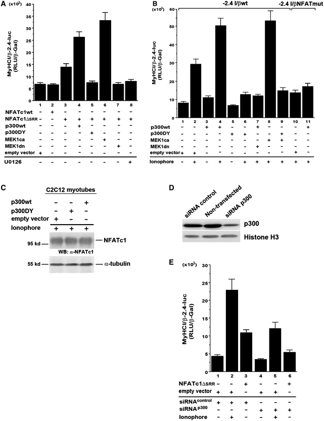 MEK1–ERK1/2 synergy with NFATc1 depends on transcriptional coactivator p300. C2C12 cells were transiently transfected with wildtype −2.4 kb MyHCI/β (−2.4 I/βwt) promoter construct and cotransfected ( A ) with or ( B ) without expression vectors coding for wild-type NFATc1 (NFATc1wt), or constitutively nuclear NFATc1ΔSRR, or empty vector. Cells were additionally cotransfected with expression vectors for wild-type p300 (p300wt), or acetyltransferase-deficient p300 (p300DY), or MEK1ca or MEK1dn, or empty vector. In ( B ) mutant (NFAT binding site) −2.4 kb MyHCI/β (−2.4 I/βNFATmut) promoter construct was also transfected. Cells were grown for 24 h in GM and then for 2 days in DM with or without U0126 (10 µM), or Ca 2+ -ionophore A23187 (0.1 µM). ( C ) Western blot analysis of NFATc1 expression in Ca 2+ -ionophore-treated C2C12 cells transfected with p300wt, p300DY or the empty vector, using an anti-NFATc1 antibody. The blot was reprobed with anti-α-tubulin antibody as loading control. ( D ) Western blot analysis of p300 expression in non-transfected C2C12 myotubes, or cells transfected with a pool of double-stranded 20–25-nt siRNA that specifically target mouse p300 (siRNA p300), or with non-specific doublestranded control siRNA (siRNA control), using an anti-p300 antibody. The blot was reprobed with anti-histone H3 antibody as loading control. ( E ) C2C12 cells were transiently transfected with a −2.4-kb MyHCI/β promoter construct and cotransfected with NFATc1ΔSRR or empty vector. After grown for 24 h in GM, cells were cotransfected with p300 siRNA (siRNA p300) or a non-specific control siRNA (siRNA control), and then grown for 2 d in DM. The promoter activity in ( A ), ( B ) and ( E ) is expressed as relative light units per unit β-galactosidase (RLU/β-Gal). The data represent the mean ± SD of triplicate data points.