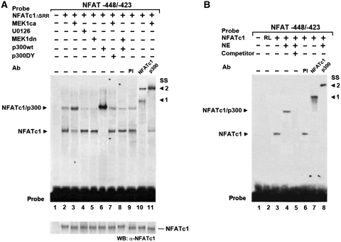 MEK1–ERK1/2 signaling indirectly regulates NFATc1-p300 complex formation at the NFAT site via p300. EMSAs demonstrate that NFATc1–p300 DNA binding complex stability depends on MEK1–ERK1/2 signaling. Radiolabeled oligonucleotide probes containing the −439/−432-bp NFAT binding site from the MyHCI/β promoter were incubated ( A ) with nuclear extracts (NEs) from C2C12 myotubes grown for 3 days in DM or ( B ) with in vitro translated NFATc1 or unprogrammed rabbit reticulocyte lysate (RL), with or without NEs from C2C12 myotubes grown for 3 days in DM. In ( A ) cells were transfected 24 h prior NE preparation with or without constitutively nuclear NFATc1ΔSRR expression vector alone, or were cotransfected with expression vectors for MEK1ca, or MEK1dn or p300wt, or p300DY, or empty vector. In addition, cells were grown with or without U0126 (10 µM). In supershift experiments, preimmune serum (PI), or anti-NFATc1, or anti-p300 antibodies (Ab) were added. A 200-fold excess of unlabeled wild-type competitor DNA (competitor +) was used in ( B ) for determination of specific protein–DNA binding reaction (lane 5). After the incubation, samples were fractionated on 5% polyacrylamide gels. Complexes are indicated by an arrowhead. SS: supershift, with ( A ) arrowhead 1 indicating the supershifted NFATc1ΔSRR–probe complex, and arrowhead 2 indicating the NFATc1ΔSRR/p300–probe complex and ( B ) arrowhead 1 indicating the supershifted NFATc1–probe complex, and arrowhead 2 indicating the NFATc1/p300–probe complex. Probe: bottom of the gel indicates excess probe. WB: western blot analysis of transfected NFATc1ΔSRR in NEs by probing aliquots with an anti-NFATc1 antibody.