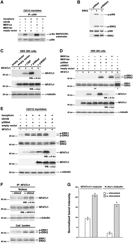 NFATc1 is acetylated by p300 in a MEK1–ERK1/2-dependent manner. ( A ) Analysis of p300 phosphorylation by IP and western blot. C2C12 cells were transfected with MEK1ca, or MEK1dn, or empty vector. After 24 h in GM cells were further grown in DM. Two days after transfection cells were pretreated with or without U0126 (10 µM) for 30 min, followed by treatment with Ca 2+ -ionophore A23187 (0.1 µM) for 3 h. Protein from cell lysates was immunoprecipitated (IP) with anti-p300 antibody. Phosphorylation of p300 was analyzed using an anti-phospho-serine (p-Ser) MAPK/CDK antibody, and p300 protein expression was detected by reprobing with an anti-p300 antibody. ( B ) In vitro kinase assay with p300wt or p300SA3 incubated with recombinant activated ERK2. The phosphorylation level of p300 was analyzed by western blot using anti-phospho-Ser/Thr-Pro antibodies. The input of proteins was analyzed with anti-p300 and anti-ERK2 antibodies. Analysis of NFATc1 lysine acetylation and ERK1/2 activation in ( C ) and ( D ) HEK 293 cells; ( E ) C2C12 myotubes; and ( F ) mouse soleus muscle by western blot (WB). In (C–E) HEK 293 or C2C12 cells were transiently transfected with or without NFATc1-c-Myc expression vector alone, or with p300wt, or p300DY, or CBP, or MEK1ca, or MEK1dn, or empty vector. HEK 293 cells were then grown for 2 days in GM, C2C12 cells for 24 h in GM and for 2 days in DM. HDAC inhibitors (300 nM TSA and 5 mM NIA) were added 24 h before lysis in (C) and (D) and to the lysis buffer in (E). C2C12 myotubes were grown in the presence or absence of Ca 2+ -ionophore (0.1 µM) and/or U0126 (10 µM) for 12 h before lysis. (F) Isolated mouse soleus muscles were electrostimulated (30 min, 15 Hz; + stimul) or not stimulated (− stimul). Eight solei were pooled per each group and proteins were immunoprecipitated (IP) from nuclear extracts with anti-NFATc1 antibodies. Expression of Myc-tagged NFATc1 was monitored by an anti-c-Myc antibody, and NFATc1 lysine acetylation was detected by u