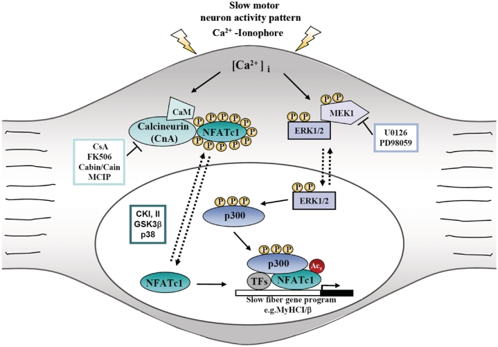 Proposed model of the interaction of calcineurin-NFATc1, MEK1–ERK1/2 and p300signaling leading to slow skeletal muscle fiber-specific gene expression. Stimuli that increase [Ca 2+ ] i result in translocation of dephosphorylated NFAT to the nucleus where it participates in mediating Ca 2+ -inducible gene expression of slow fiber genes, such as MyHCI/β. This induction of MyHCI/β can be further stimulated by Ca 2+ -mediated activation of the MEK1–ERK1/2 pathway resulting in the phosphorylation of transcriptional coactivator p300, leading to its recruitment to NFATc1 bound to the MyHCI/β promoter. Once recruited, phosphorylated p300 acetylates NFATc1 and enhances NFATc1–DNA binding. As a consequence, p300 enhances gene expression of MyHCI/β mediated by increased intracellular Ca 2+ -concentration. CaM, calmodulin; CKI/II, casein kinase I/II; CsA, cyclosporine A; GSK3β, glycogensynthase kinase-3β; MCIP (myocyte-enriched calcineurin interacting protein).