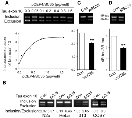SC35 promotes tau exon 10 inclusion. ( A ) SC35 promoted tau exon 10 inclusion dose dependently. The pCI/SI9–SI10 mini-tau-gene was co-transfected with different amount of pCEP4-SC35 into HEK-239T cells. Total RNA was subjected to RT–PCR for measurement of tau exon 10 splicing after 36 h transfection. ( B ) SC35 promoted tau exon 10 inclusion cell-type independently. pCI/SI9–SI10 was co-transfected with pCEP4/SC35 into various cell lines indicated under each panel. Tau exon 10 splicing was measured by RT–PCR after 36 h transfection. ( C and D ) siRNA of SC35 suppressed tau exon 10 inclusion. pCI/SI9–SI10 was co-trasnfected with siRNA of SC35 into N2a cells for 48 h, and then the splicing products of tau exon 10 of mini gene (C) and endogenous mouse tau (D) were measured by RT–PCR. The same amount of scramble siRNA was used for controls. The data are presented as mean ± SD. ** P