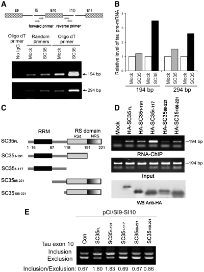 SC35 acts on exon 10 of tau pre-mRNA to promote tau exon 10 inclusion. ( A ) Tau pre-mRNA could be immunoprecipitated by SC35. pCI/SI9–SI10 was co-transfected with pCEP4/SC35-HA into HEK-293T cells. SC35 was immunoprecipitated with anti-HA antibody. Co-immunoprecipitated pre-mRNA of tau with SC35 was determined by RT–PCR with random primer or oligo-dT for generating cDNA and with two sets of primers specific to introns 9 and 10 as indicated for amplifying the cDNA derived from tau pre-mRNA. The RT–PCR product was separated by agarose electrophoresis and quantitated by densitometry and presented in B from two separated experiments. ( C ) Schematic of SC35 deletion mutants. ( D ) Tau pre-mRNA was immunoprecipitated by deletion mutants of SC35 differentially. Different deletion mutants of SC35 showed in panel C tagged with HA were overexpressed in pCI/SI9–SI10 transfected HEK-293T cells. RNA-IP was carried out with anti-HA antibody and co-immunoprecipitated pre-mRNA of tau was measured by RT–PCR as in panel A. Total pre-mRNA of tau, Input, was also measured by RT–PCR with same primers. The immunoprecipitated deletion mutations of SC35 were examined by western blot using anti-HA antibody (lower panel). ( E ) Deletion mutations of SC35 promoted tau exon 10 inclusion differentially. pCI/SI9–SI10 was co-transfected with different deletion mutants of SC35 into HEK-293T. Total RNA was extracted and subjected to RT–PCR for measurement of tau exon 10 splicing after 36 h transfection.
