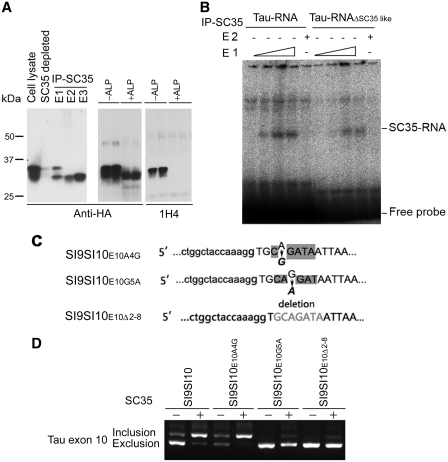 SC35 promotes tau exon 10 inclusion through SC35-like enhancer. ( A ) SC35 was immunopurified by anti-HA. SC35 tagged with HA was overexpressed in HEK-293T cells and immunopurified with anti-HA-crosslinked protein G beads. Different elution fractions (left panel) were subjected to western blot analysis with anti-HA. Immunoprecipitated SC35 without elution was dephosphorylated with alkaline phosphatase and determined by anti-HA and 1H4, an antibody to phosphorylated SR proteins. E1, elution fraction 1; E2, elution fraction 2; E3, elution fraction 3; ALP, alkaline phosphatase. ( B ) SC35 bound to RNA of tau exon 10. Immunopurified SC35 (E1 and E2) was incubated with tau pre-mRNA (tau-RNA) or SC35-like enhancer deleted tau pre-mRNA (tau-RNA ΔSC35 like ) pre-labeled with γ- 32 P <t>ATP.</t> The incubation products were subjected to native-gel electrophoresis. After drying, the gel was analyzed with phosphoimaging device (BAS-1500, Fujifilm). ( C ) Schematic of mutations of mini-tau-gene on SC35-like enhancer of tau exon 10. ( D ) Mutations of SC35-like enhancer affected SC35 promoted tau exon 10 inclusion. Different mutants of mini-tau-gene, pCI/SI9–SI10, at SC35 like enhancer were transfected alone or together with pCEP4/SC35. RT–PCR was carried out to measure tau exon 10 splicing after 36 h transfection.