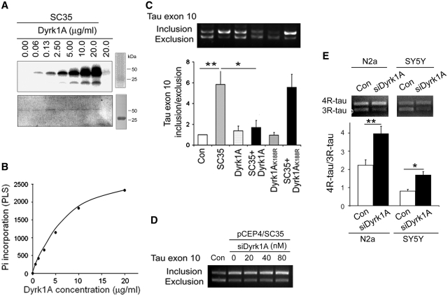 Dyrk1A phosphorylates SC35 and suppresses SC35 promoted tau exon 10 inclusion. (A ) autoradiography of SC35 phosphorylation by Dyrk1A in vitro . Recombinant GST-SC35 was incubated with various concentrations of Dyrk1A indicated above each lane for 30 min at 30°C and separated by SDS–PAGE and visualized with Coomassie blue staining (lower panel). The last lane is Dyrk1A alone, without GST-SC35. After drying the gel, the 32 P incorporated into SC35 was measured by using a phosphorimaging device (BAS-1500, Fuji) (upper panel). ( B ) The incorporated 32 P into SC35 was by different concentration of Dyrk1A. ( C ) Dyrk1A, but not Dyrk1A K188R, inhibited tau exon 10 inclusion promoted by SC35. pcDNA/Dyrk1A or pcDNA/Dyrk1A K188R was transfected only or together with SC35 into HEK-293T. Total RNA was subjected to RT–PCR for measurement of tau exon 10 splicing after 36 h transfection. ( D ) siRNA of Dyrk1A enhanced SC35-promoted tau exon 10 inclusion. pCEP4/SC35 was co-transfected with various concentration of siRNA of Dyrk1A into pCI/SI9–SI10 transfected HEK-293FT cells for 48 h, and the products of tau exon 10 splicing were measured by RT–PCR. ( E ) siRNA of Dyrk1A promoted 4R-tau expression. N2a or SH-SY5Y cells were transfected with Dyrk1A siRNA for 48 h, and then 3R-tau and 4R-tau were measured by RT–PCR. The same amount of scramble siRNA was used for controls. * P