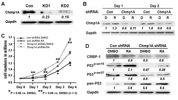 Chmp1A knockdown abolished ATRA mediated growth inhibition and the increase of protein levels of Chmp1A, CRBP, P53 and phospho-P53 . (A) Chmp1A shRNA was cloned into shRNA RNAintro™ pSM2 retroviral vector to generate stable <t>PanC-1</t> clones expressing Chmp1A shRNA. Western blot analysis demonstrated the knockdown efficiency of two colonies (KD1 and KD2). Non-silencing shRNA was used as control. (B) Chmp1A expression was reduced in Chmp1A silenced PanC-1 cells more than 50% on Day 1 and 40% on Day 2 regardless of ATRA treatment, compared with non-silencing shRNA expressing cells that were treated with vehicle DMSO. ATRA treatment increased Chmp1A expression slightly. (C) Silencing of Chmp1A induced growth promotion in the presence or absence of ATRA, compared with control cells that were treated with either DMSO or ATRA. ATRA did not have an effect on growth upon stable expression of Chmp1A shRNA compared to control shRNA. (D) Control shRNA expressing cells showed an increase in P53 and phospho-P53 at serine 15 and 37 without exhibiting an increase in CRBP-1. However, Chmp1A shRNA expressing cells exhibited a decline in CRBP-1 and phospho-P53 expression at serine 15 and 37 when compared with control shRNA expressing cells that were treated with DMSO. ATRA increased P53 expression when Chmp1A was silenced, however, Chmp1A depletion did not decrease P53 expression. D: DMSO, R: ATRA