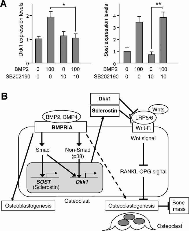 Effects of non-Smad signaling on Dkk1 and Sost expression in osteoblasts. ( A ) Effects of <t>p38</t> <t>MAPK</t> inhibitor <t>SB202190</t> on Dkk1 and Sost expression using primary osteoblasts from newborn wild-type mice as assessed by qRT-PCR. mRNA was isolated from wild-type osteoblasts pretreated with SB202190 (10 µM) or DMSO in the absence of serum for 1 hour prior to the addition of BMP2 (100 ng/mL) or PBS for 3 hours. Upregulation of Dkk1 expression by BMP2 treatment was restored by SB202190 pretreatment. Sost expression was increased significantly by BMP2 treatment with SB202190 pretreatment. Values are expressed relative to untreated osteoblasts (neither SB202190 nor BMP2) (mean ± SD; t test; * p
