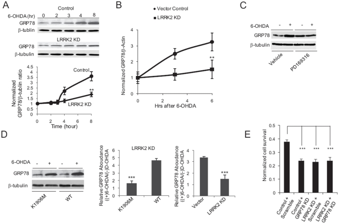 LRRK2 signaling modulates GRP78 levels to potentiate cell survival after 6-OHDA exposure. ( A ) LRRK2 is involved in 6-OHDA-mediated upregulation of GRP78 protein levels. Western blot analyses were performed on lysates from SH-SY5Y cells transfected with a control vector (Control, circles) and MIX LRRK2 KD SH-SY5Y cells (LRRK2 KD, diamonds) treated with 100 µM 6-OHDA for the indicated periods of time. Representative Western blots are shown, as well as quantization of results from 3 independent experiments. Data represent the mean ± SEM of 3 independent experiments. **, p