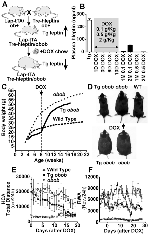 """Effects of acute leptin suppression on activity in Tet-off hyperleptinemic transgenic obob mice. ( A ) Strategy followed to obtain transgenic mice chronically over-expressing hleptin on an obob background. <t>LAP-tTa/TRE-hleptin/</t> obob mice are skinny since hleptin is over-produced until doxycycline (DOX) is administered. ( B ) In Tg obob mice, plasma hleptin levels were suppressed 1, 3, 6, and 13 days after beginning chronic administration DOX in the food at concentrations of 0.1, 0.5, and 2 g/kg. After DOX suppression, hleptin can be turned on again by switching back to regular chow. The """"recovery"""" time necessary to document detectable hleptin in the plasma (1M = 1 month, 2M = 2 months) is a function of the DOX concentration in the food and the duration of the administration as shown after a 13 days of DOX. ( C ) Administration of DOX to LAP-tTa/Tre-hleptin/ obob at 8 weeks of age was accompanied by an increase in body weight. ( D ) The top panel compares an 8 week old LAP-tTa/Tre-hleptin/ obob mouse ( left ) and a littermate obob control ( center ) before DOX. The bottom panel shows the same mice 5 weeks after beginning DOX. ( E–F ) Effect of acute leptin suppression on activity in Tg obob mice. ( E ) After beginning DOX, a steady decrease in HCA is observed in Tg obob mice (n = 5) as shown by linear regression analysis, becoming significant (p≤0.05) after 7 days of DOX and continuing through the end of the experiment (p"""