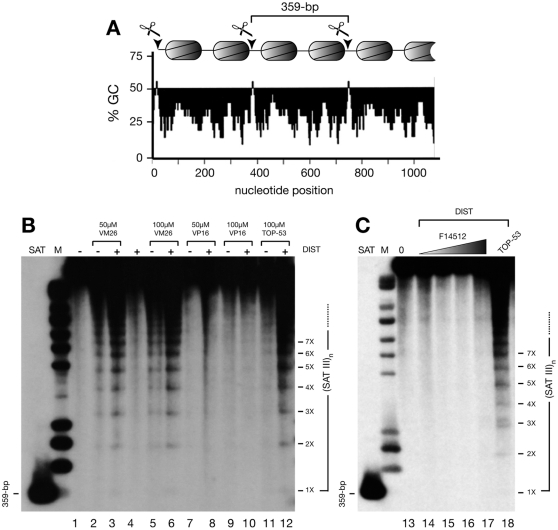 Cellular profiles of drug-induced Topo II-mediated cleavage in SAT III repeats of the Drosophila X chromosome. (A) Structure of SAT III repeats. 359-bp SAT III repeats accommodate 2 nucleosomes per repeat. One of the two nucleosomal linkers located in each repeat contains a short GC-rich sequence that serves as a highly specific target for Topo II cleavage in vivo , as denoted by scissors. (B) Schneider S2 cells were treated for 30 minutes with teniposide (VM26), etoposide (VP16) or TOP-53 at the concentrations shown, in the absence (-) or presence (+) of distamycin (DIST, 25 µM). Purified DNA was electrophoresed without prior restriction enzyme digestion, transferred to a nylon membrane and hybridized to a labeled SAT III probe. 359-bp: the SAT III monomer (SAT) used as a probe; M: molecular weight standards. ( C ) S2 cells were treated for 30 minutes with no drug (0, lane 13), F14512 (5, 10, 25 or 50 µM, lanes 14–17) or 50 µM TOP-53 (lane 18), in the presence of 25 µM distamycin (DIST). Omission of the latter gave identical results (not shown). DNA samples were processed as described above. SAT: the 359-bp cloned fragment used as a probe; M: molecular weight standards.