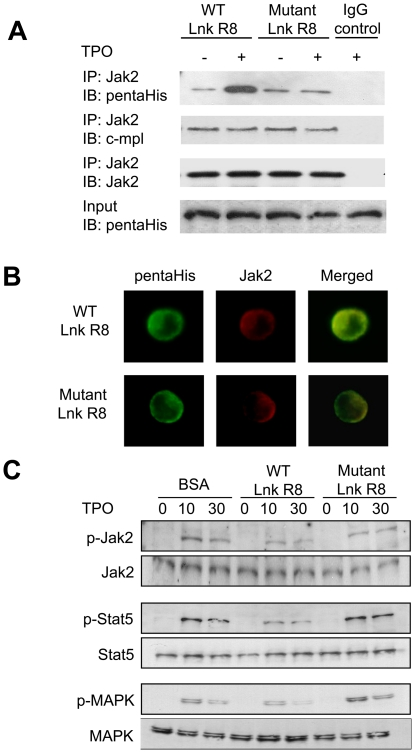 WT Lnk R8 binds endogenous Jak2 and impairs TPO-mediated Jak-Stat and MAPK activation. (A) M-MOK cells treated with WT or mutant Lnk R8 were either stimulated or not stimulated with TPO. Cells were collected and thoroughly washed before lysed. Lysates were immunoprecipitated with anti-Jak2 or control IgG antibody and analyzed by Western blotting with anti-Jak2, anti-pentaHis or anti-c-mpl antibodies. IgG control lane represents immunoprecipitation from WT Lnk R8-treated sample (with TPO stimulation) using control IgG antibody. (B) Protein-treated M-MOK cells were stimulated with TPO for 30 minutes. Cells were fixed and probed with anti-pentaHis and anti-Jak2 antibodies. Secondary Alexa 488 and Alexa 594 conjugated antibodies were used to detect primary antibodies (Green: Lnk R8, Red: Jak2). Co-localization of Lnk R8 and Jak2 (yellow) were shown in merged pictures. (C) Protein treated-M-MOK cells were stimulated with 10 ng/ml of TPO for 0, 10, 30 minutes. Cells were harvested and lysates were subjected to Western blot analyses. Phosphorylation and total protein levels of Jak2, Stat5 and MAPK were detected using antibodies as described in Materials and Methods .