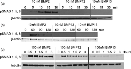 Induction of SMAD signaling by BMPs in C3H10T1/2 cells. Cell lysates from rhBMP2, rhBMP12, or rhBMP13 treated C3H10T1/2 cells were analyzed by western blot with antibodies to phosphorylated SMAD 1/5/8 and to β-actin or tubulin. Cells were treated with (a)10 nM BMPs for 0 to 30 min, (b) 10 nM BMPs for 0 to 120 min or (c) treated with 100 nM BMPs for 0 to 3 h.