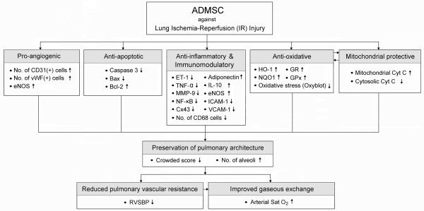 Proposed mechanisms underlying the improvement in pulmonary functions after adipose-derived mesenchymal stem cell (ADMSC) treatment in a rodent model of pulmonary ischemia-reperfusion (IR) injury . vWF :von Willebrand factor, ET-1: Endothelin-1; TNF-α: Tumor necrosis factor-α; MMP-9: Matrix metalloproteinase-9; NF-κB: Nuclear factor kappa B; Cx43: Connexin43; IL-10: Interleukin-10; eNOS: Endothelial nitric oxide synthase; ICAM-1: Intercellular Adhesion Molecule-1; VCAM-1: Vascular cell adhesion molecule; HO-1: Heme oxygenase-1; NQO1: NAD(P)H quinone oxidoreductase; GR: Glutathione reductase; GPx: Glutathione peroxidase; Cyt C: Cytochrome C; RVSBP: Right ventricular systolic blood pressure; Sat O 2 : Oxygen saturation.