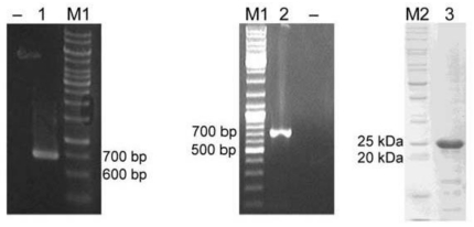 """PCR amplification and expression of K. pneumoniae MGH 78578 <t>yggG</t> ORF. A 696 bp PCR product was amplified from genomic DNA (lane 1) or <t>cDNA</t> (lane 2). The PCR product from lane 1 was purified and cloned into a pET-14b vector for protein expression """"–""""lanes indicate no-template controls. Lane 3: Purified K. pneumoniae YggG protein on 12% SDS-PAGE. M1: GeneRuler 1 kbp DNA ladder (Fermentas); M2: BenchMark ™ protein ladder."""