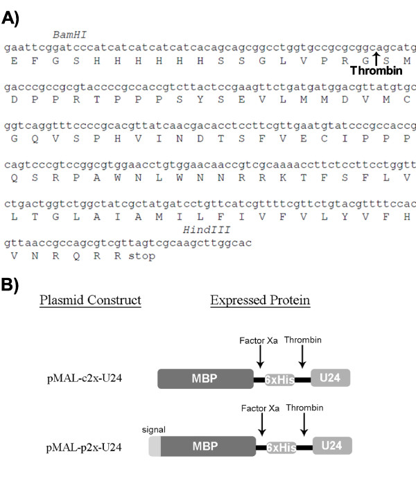 U24 codon-optimized gene, amino acid sequence and graphical representation of expressed protein construct . A) BamHI/HindIII cut sites are indicated and used to clone the PCR-amplified duplex DNA into the corresponding sites of pMAL-p2x and pMAL-c2x vectors, from which the MBP-6 × His-U24 fusion protein is expressed. The U24 gene was designed to be preceded by a hexahistidine tag (6 × His) and LVPRGS thrombin cleavage site (indicated by an arrow). Final thrombin-cleaved and purified U24 protein will include an additional two amino acids (Gly-Ser) at the N-terminus. B) Cartoon representation of expressed protein. The difference in constructs is a signal sequence at the N-terminus of the protein expressed by pMAL-p2x-U24, directing expression to the periplasm. The Factor Xa cleavage site is vector-encoded.