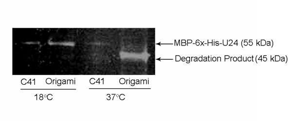 Examination of cysteine-free mutant U24 expression . The C21SC37S mutant U24 constructs were expressed: pMAL-p2x-U24 in C41 (DE3) and pMAL-c2x-U24 in Origami 2 cells, at 18°C and 37°C. Removal of disulfide bond potential appeared to have no effect on in vivo stability of expressed MBP-6 × His-U24, which exhibited the same expression characteristics as wild-type; a similar loss in mass of the degraded fusion protein is observed at the higher temperature.
