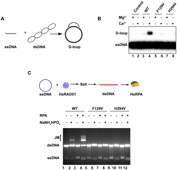 HsRAD51(F129V) and HsRAD51(H294V) are deficient in D-loop formation and strand exchange. ( A ) In vitro D-loop assay reaction schematic. ( B ) 0.8 µM of HsRAD51, HsRAD51(F129V), or HsRAD51(H294V) and [P 32 ]-labeled ssDNA (90mer; 2.4 µM nt) were preincubated for 10 min at 37°C in the reaction buffer containing 1 mM ATP and 1 mM MgCl 2 or CaCl 2 . Reactions were initiated by the addition of supercoiled pBS SK(-) plasmid <t>DNA</t> (35 µM bp). After 15 min, reactions were terminated by the addition of proteinase-K and SDS. Joint molecules (JMs) were analyzed on a 0.9% agarose gel. ( C ) Analysis of salt and RPA requirement for strand exchange. Reaction schematic shown above: HsRAD51 (5 µM) and <t>φX174</t> circular ssDNA (30 µM nt) were pre-incubated with 2.5 mM ATP and 1 mM MgCl 2 at 37°C for 5 m prior to the addition of 150 mM NaNH 4 HPO 4 (if indicated) and linear φX174 dsDNA (15 µM bp). After 5 m, HsRPA (2 µM) was added (if indicated) and the incubation was continued for 3 h. Samples were deproteinized and analyzed on 0.9% agarose gel with 0.1 µg/mL ethidium bromide.